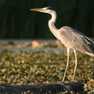 Grey heron at Lake Tisza