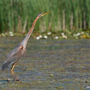 Purple heron at Lake Tisza