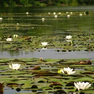 White Water Lily at Csapói Holt-Tisza