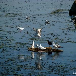 Seagulls at Lake Tisza