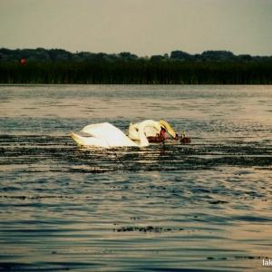Swans at Lake Tisza