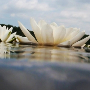 White Water Lily on Lake Tisza